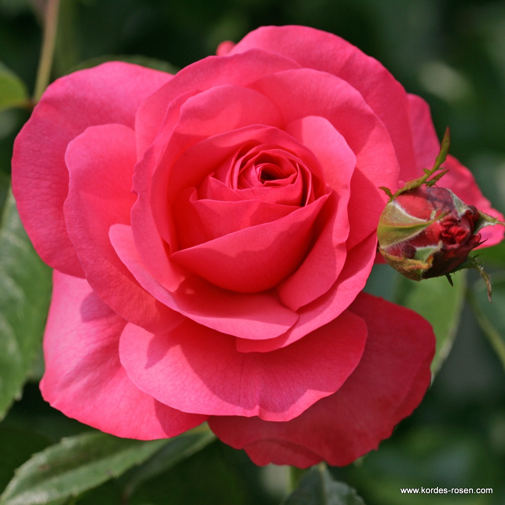 Rosanna_1599547e35cd9e