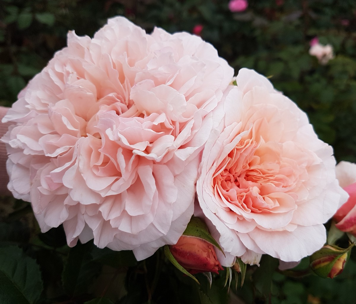 Rose_de_Tolbiac_1