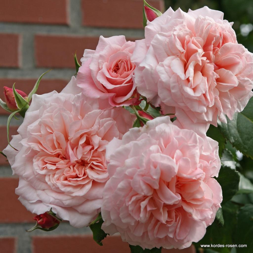 Rose_de_Tolbiac_1599547ead826b