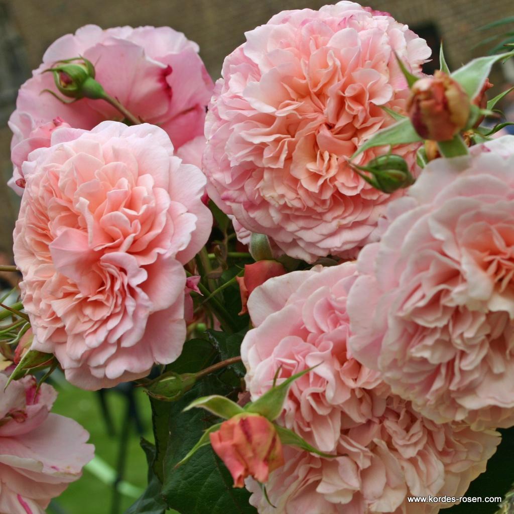 Rose_de_Tolbiac_2599547eb7d28b