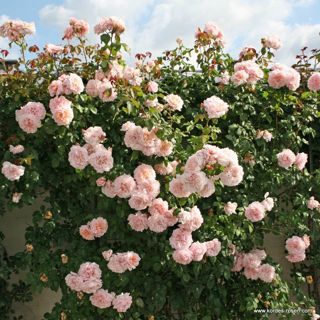 Rose_de_Tolbiac_3