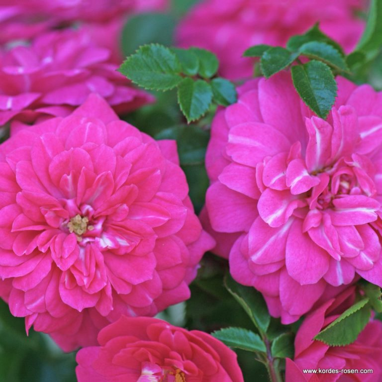 """Rose """"Knirps"""""""