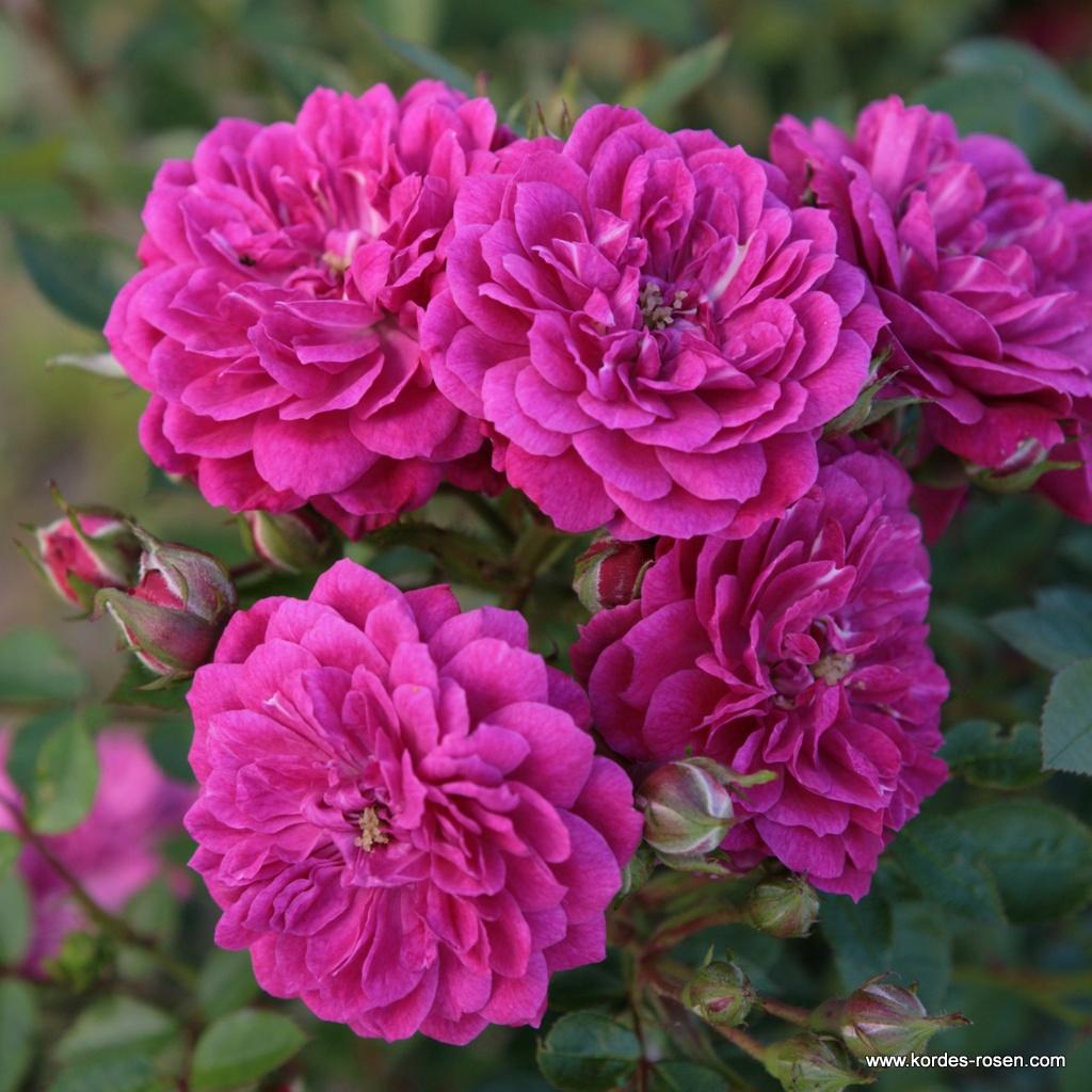 Purple_Rain_25995451083e5a