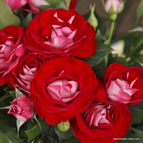 Rose_der_Einheit_1599546f9ee8e4-480x480