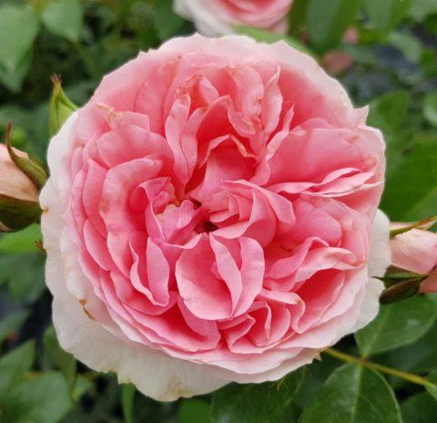 rosenfee-1-480x464