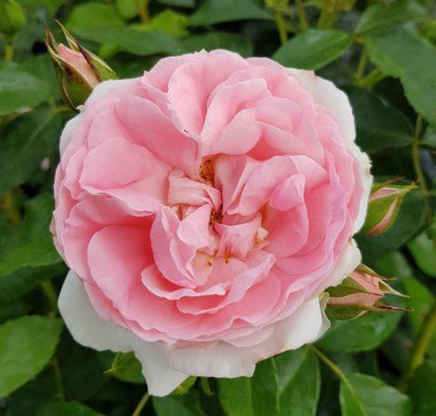 rosenfee-2-480x458