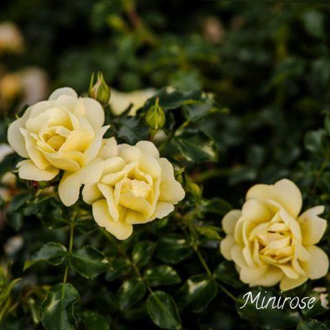 sunny_rose-480x480